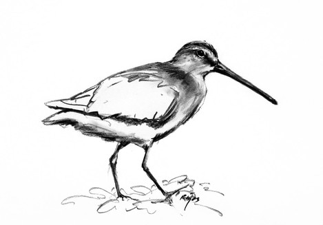 long billed dowitcher charcoal drawing
