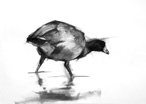 Coot charcoal drawing