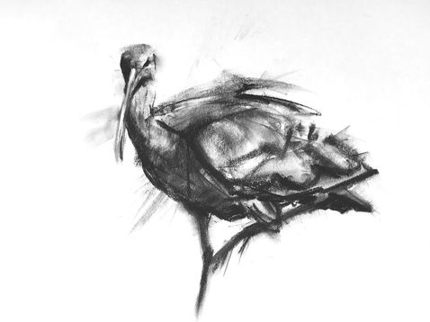 white faced ibis charcoal drawing