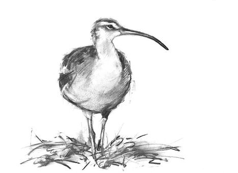Whimbrel Charcoal Drawing
